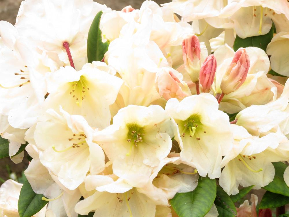 rhododendron ehrengold die pusteblume. Black Bedroom Furniture Sets. Home Design Ideas