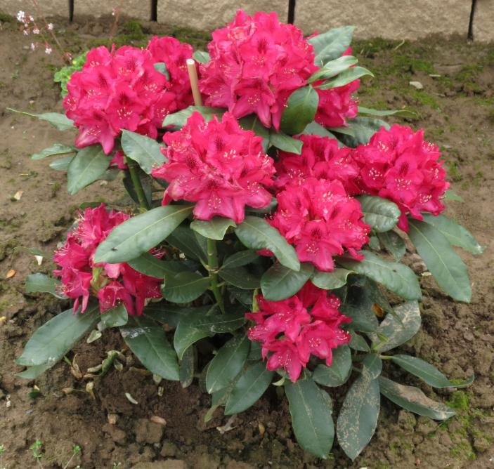 20-Rhododendron Nova Zembla