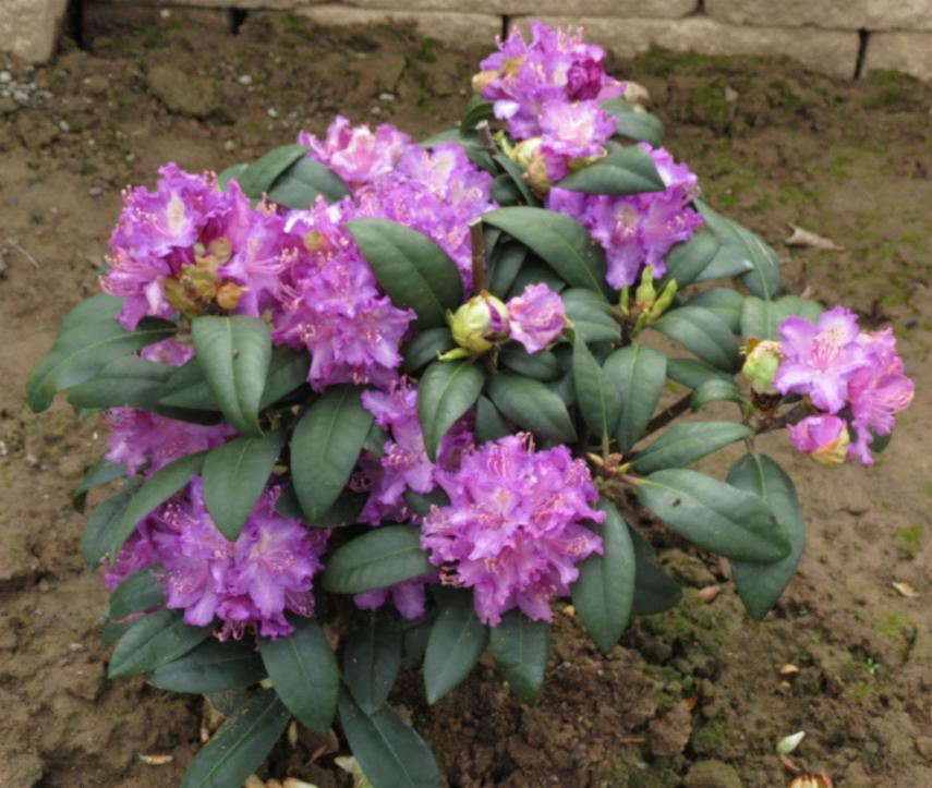22-Rhododendron Alfred