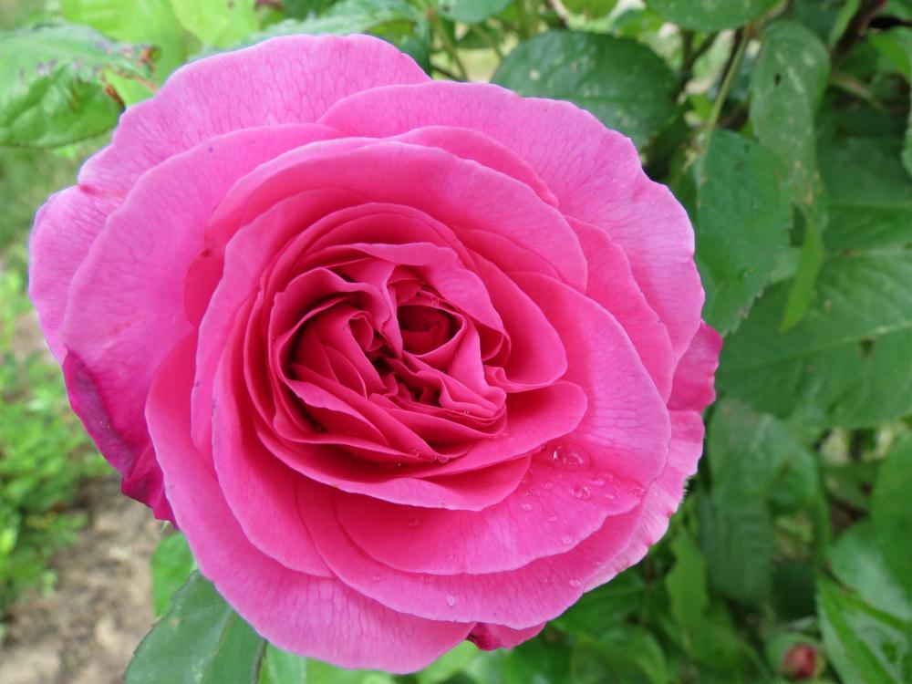 34-Rose Gertrude Jekyll