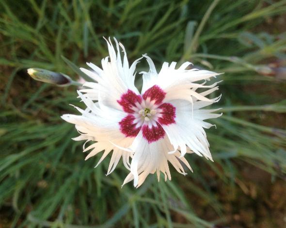 46-Dianthus