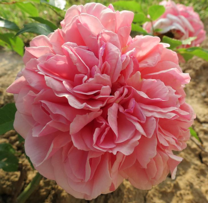 63-Rose Mary Ann