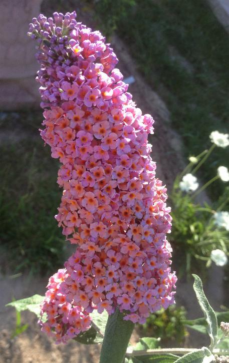78 - Sommerflieder buddeleja Flowerpower