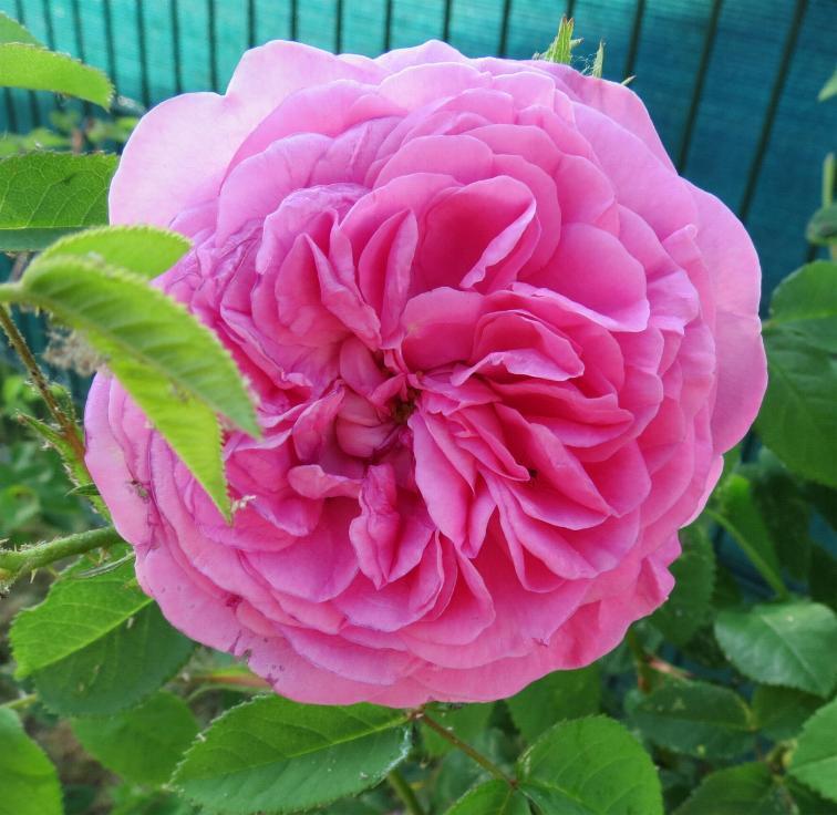 82-La rose de Molinard 9.6.