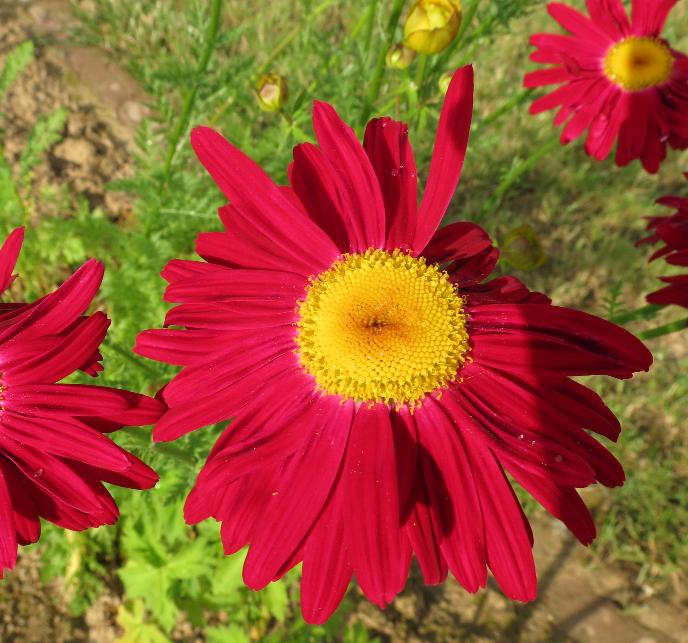 90- Tanacetum coccineum 'Robinsons Rot' 8.6.