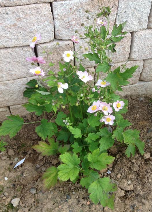 Herbstanemone 'Königin Charlotte' - Anemone japonica 'Königin Charlotte' 22.8. (2)