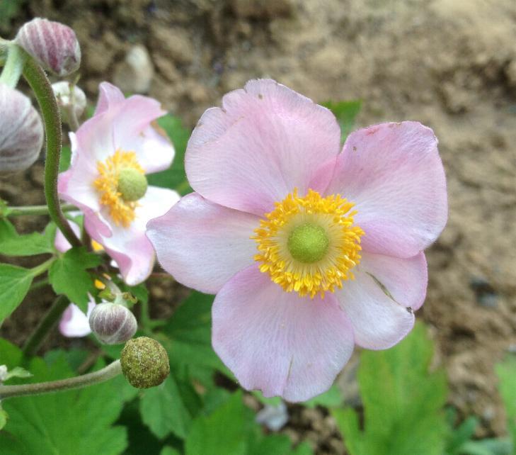 Herbstanemone 'Königin Charlotte' - Anemone japonica 'Königin Charlotte' 22.8.(1)