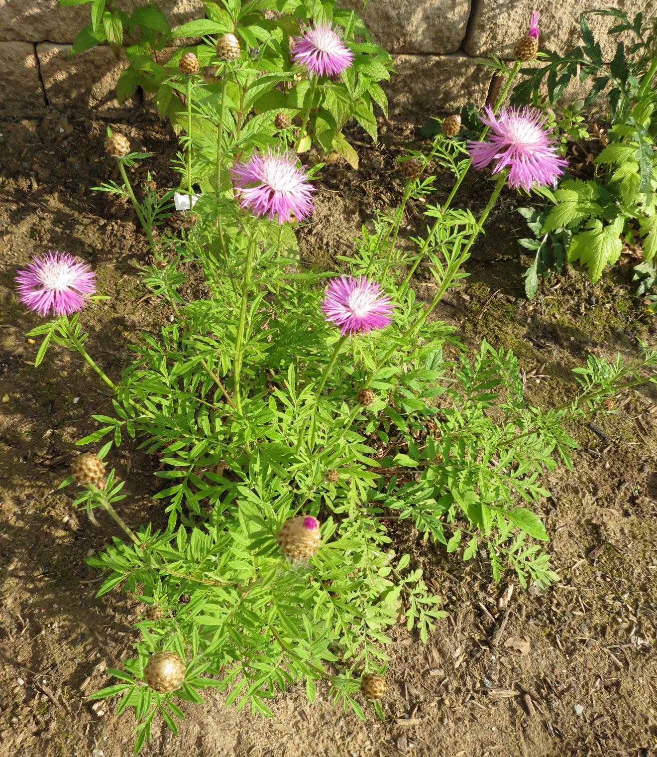 Kornblume - Centaurea dealbata 'Steenbergii' 8.6.(2)