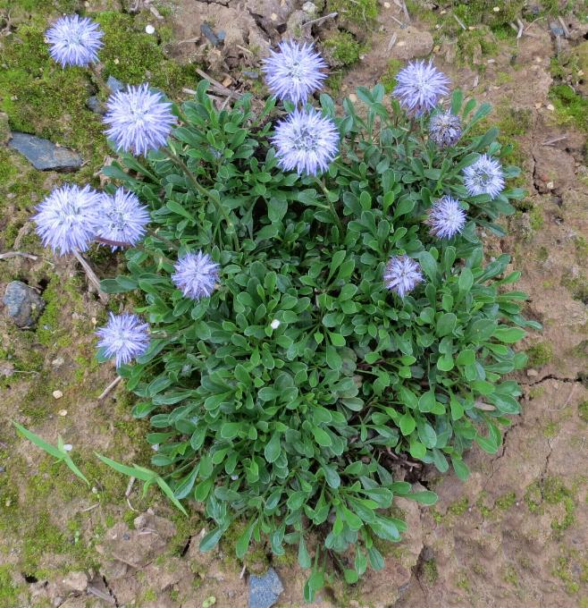 Kugelblume (Globularia punctata) 21.5.2013 (2)