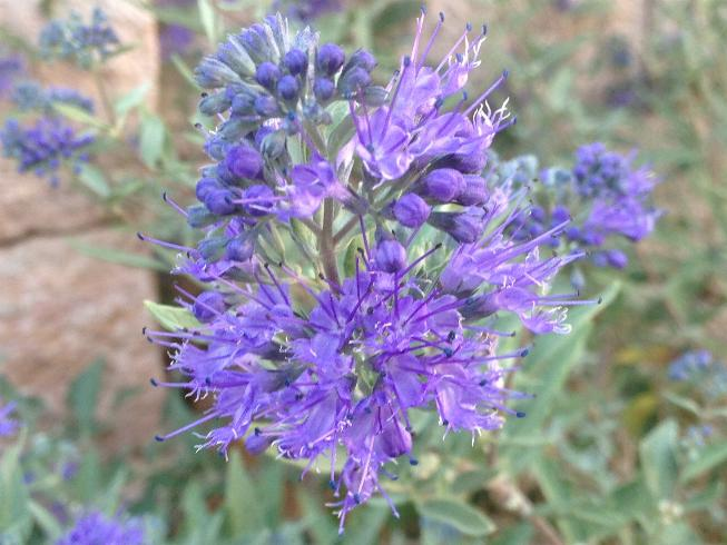 Blauer Spatz - Caryopteris clandonensis 7.9. (1)
