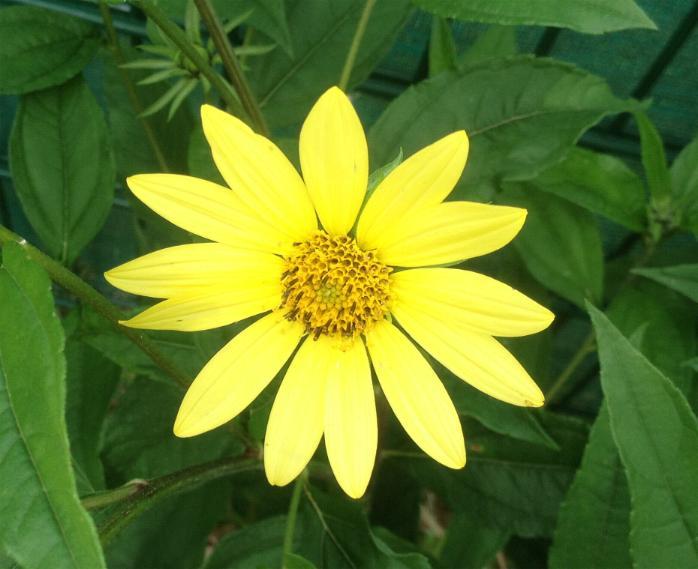 Stauden-Sonnenblume - Helianthus Microcephalus-Hybride 'Lemon Queen' 28.8.13 (1)