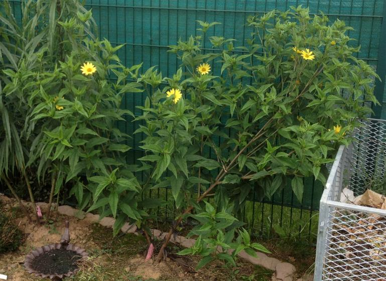 Stauden-Sonnenblume - Helianthus Microcephalus-Hybride 'Lemon Queen' 28.8.13 (2)
