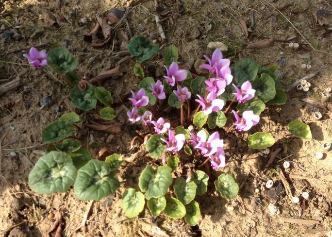 Herbst-Alpenveilchen - Cyclamen Hederifolium 2.10.13 (2)