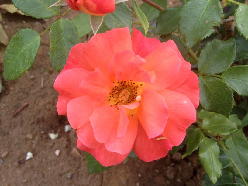 Rose Gebrüder Grimm 9.8.13 (1)