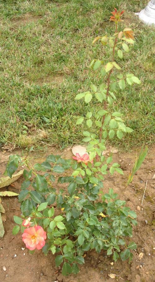 Rose Gebrüder Grimm 9.8.13 (2)