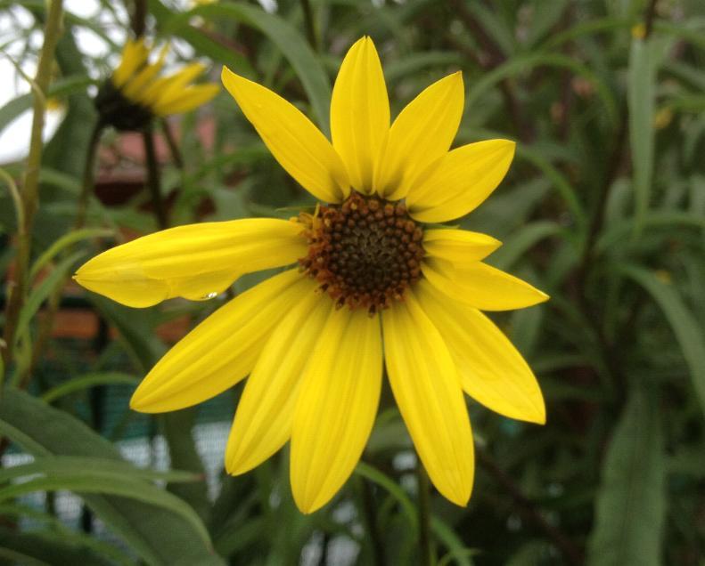Weidenblättrige Sonnenblume - Helianthus salicifolius var. orgyalis 6.10.13 (1)
