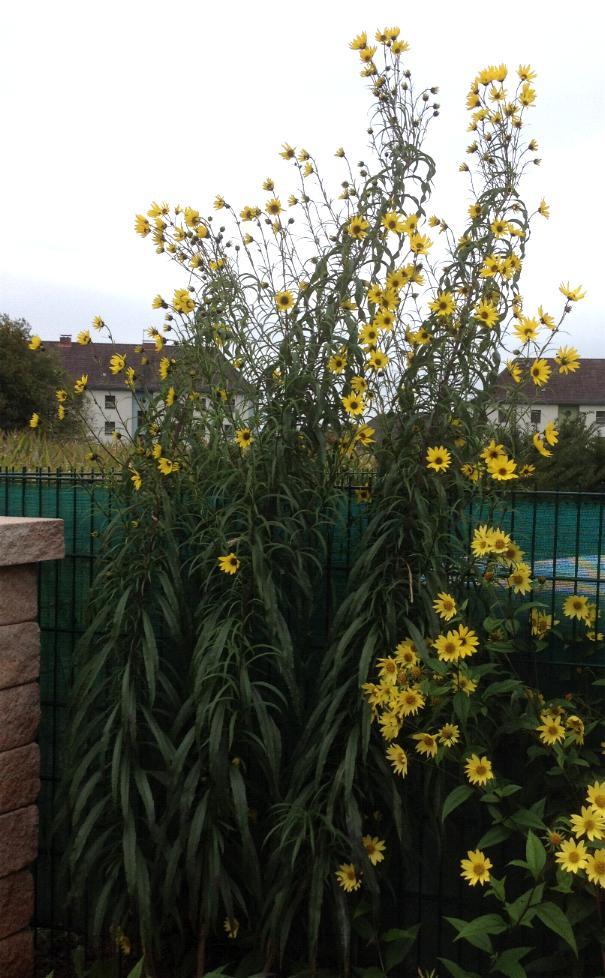 Weidenblättrige Sonnenblume - Helianthus salicifolius var. orgyalis 6.10.13 (2)