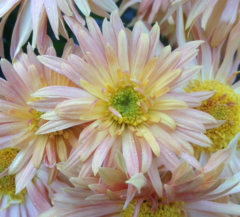 garten chrysantheme chrysanthemum x hortorum die pusteblume. Black Bedroom Furniture Sets. Home Design Ideas