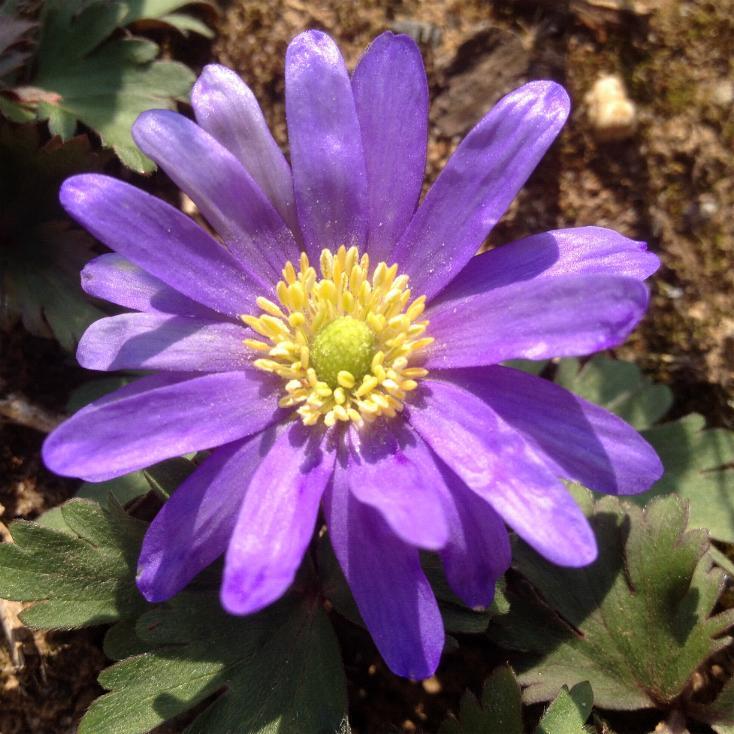 Blaue Frühlings-Anemone (Anemone blanda Blue Shades) 14.3.2014 (1)