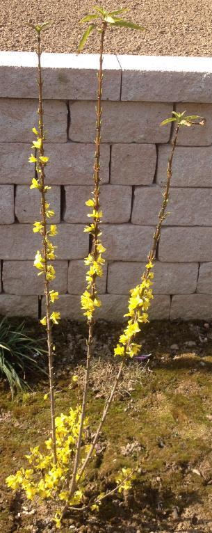 Großblütiges Goldglöckchen Goldzauber (Forsythia) 14.3.2014 (2)