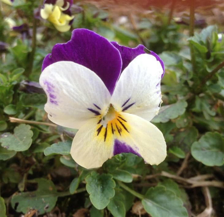 Horn-Veilchen (Viola cornuta) 14.3.2014 (1)