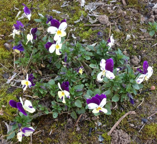 Horn-Veilchen (Viola cornuta) 14.3.2014 (2)