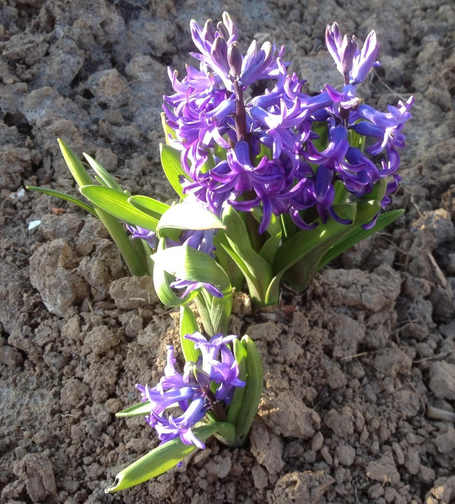 Hyazinthe Blau (hyacinthus multiflora) 20.3.14 (2)
