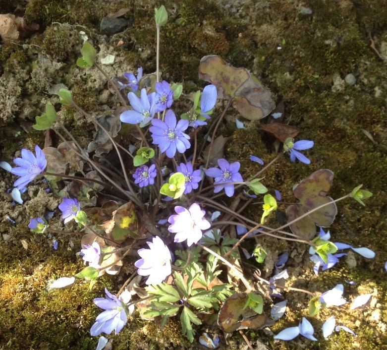 Leberblümchen (Hepatica nobilis) 14.3.2014 (2)