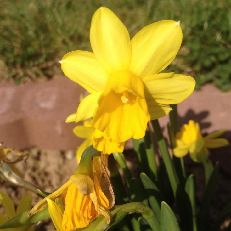 Narzissen (Narcissus) 14.3.2014 (1)