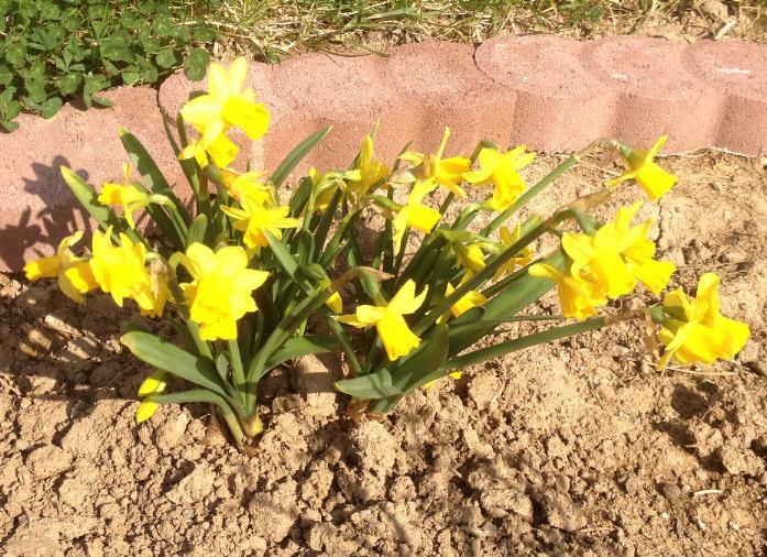 Narzissen (Narcissus) 14.3.2014 (2)