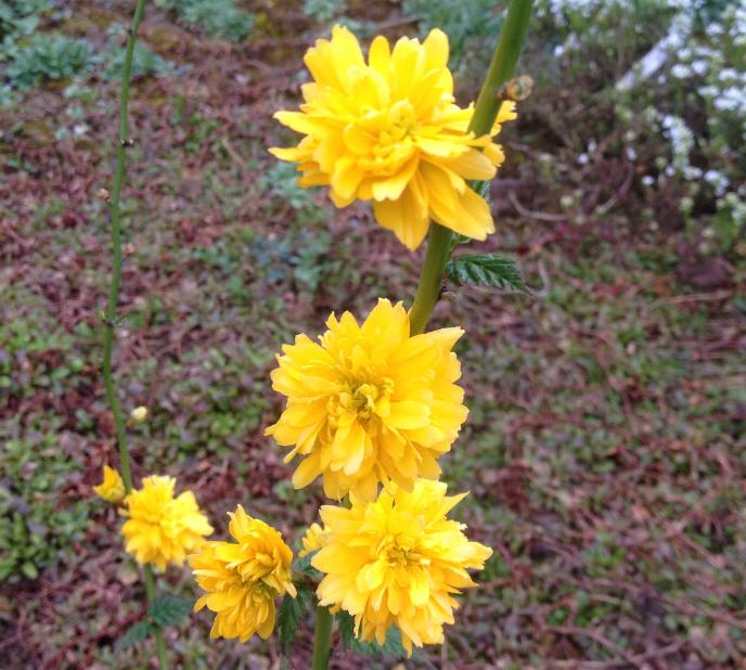 Ranunkelstrauch (Kerria japonica) 22.3.2014 (1)