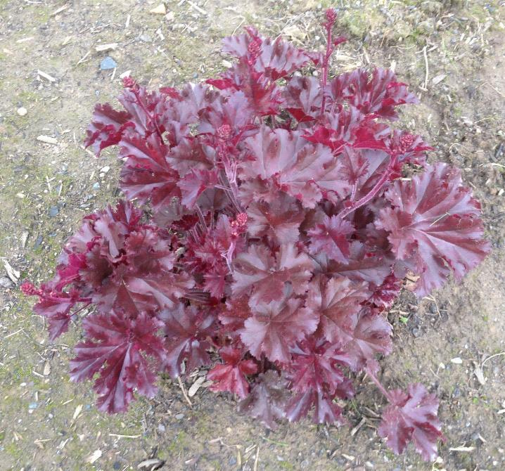 Rotes Purpurglöckchen(Heuchera micrantha - Palace Purple) 25.5.2013