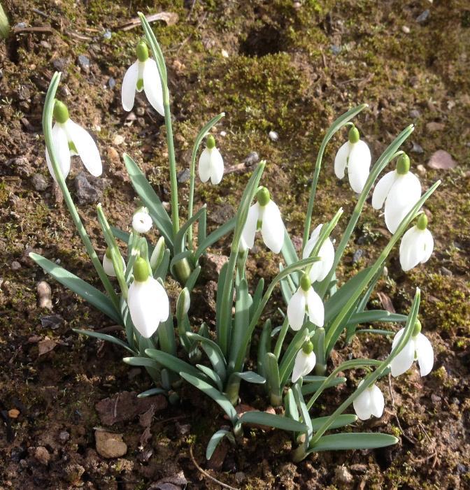 Schneeglöckchen (Galanthus nivalis) 14.3.2014 (2)