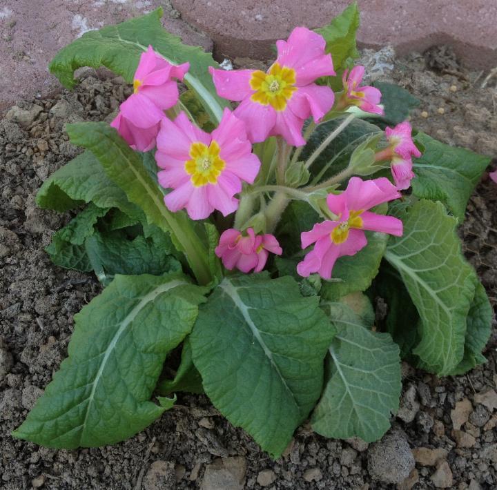 Stängelprimel (Primula elatior) 14.3.2014 (2)