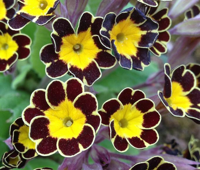 Garten-Schlüsselblume Gold Lace (Primula elatior) 4.4.14 (1)