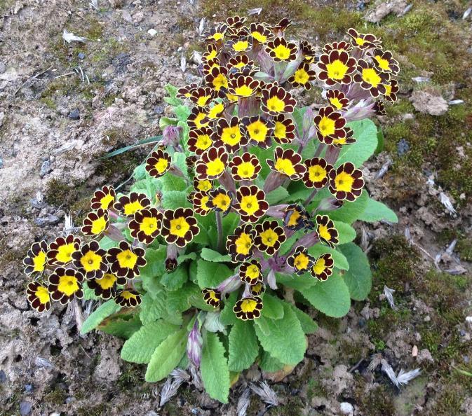 Garten-Schlüsselblume Gold Lace (Primula elatior) 4.4.14 (2)
